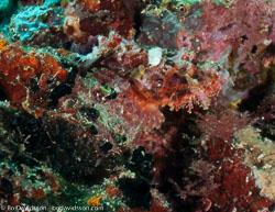 BD-090922-Bunaken-9223729-Scorpaenopsis-oxycephala-(Bleeker.-1849)-[Caledonian-devilfish].jpg